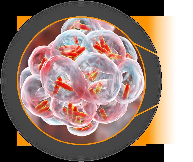 Grafika pokazujaca czastki krztusca w powiekszeniu pod mikroskopem