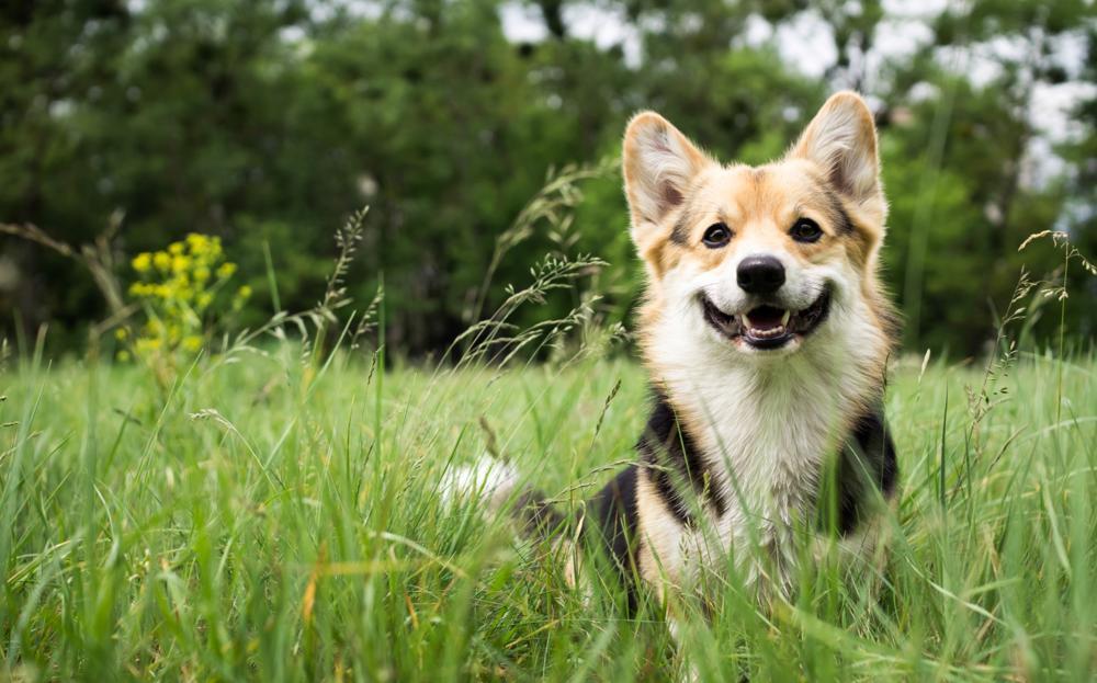 Kastracja psa lub suki: wpływ na zdrowie i zachowanie
